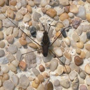 Gerridae sp. (family) at Kambah, ACT - 30 Dec 2009