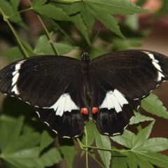 Papilio aegeus (Orchard Swallowtail) at Kambah, ACT - 15 Dec 2011 by HarveyPerkins