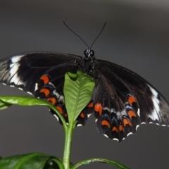 Papilio aegeus at Kambah, ACT - 16 Dec 2011