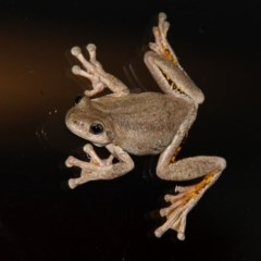Litoria peronii (Peron's Tree-frog) at Kambah, ACT - 12 Dec 2011 by HarveyPerkins