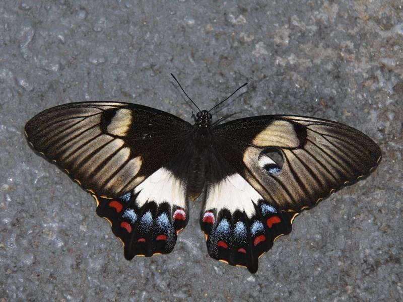 Papilio aegeus at Kambah, ACT - 13 Dec 2012