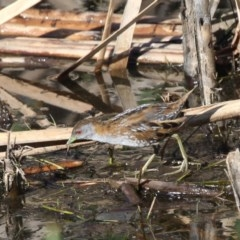 Zapornia pusilla (Baillon's Crake) at Jerrabomberra Wetlands - 7 Dec 2012 by HarveyPerkins