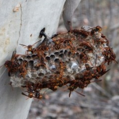 Polistes (Polistella) humilis (Common Paper Wasp) at Aranda Bushland - 9 Mar 2016 by CathB