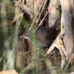 Zapornia tabuensis (Spotless Crake) at Jerrabomberra Wetlands - 7 Dec 2012 by HarveyPerkins