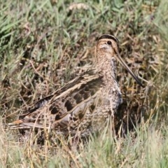 Gallinago hardwickii (Latham's Snipe) at Jerrabomberra Wetlands - 7 Dec 2012 by HarveyPerkins