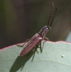 Elateridae sp. (family) (Unidentified click beetle) at Namadgi National Park - 16 Jan 2016 by HarveyPerkins