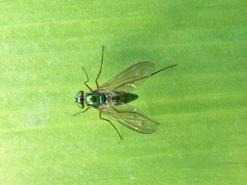 Austrosciapus sp. (genus) at Kambah, ACT - 5 Nov 2009