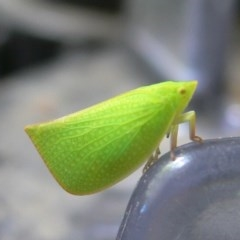 Siphanta acuta (Green planthopper, Torpedo bug) at Kambah, ACT - 7 Nov 2009 by HarveyPerkins