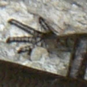 Lampropholis delicata at Kambah, ACT - 7 Nov 2009