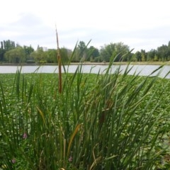 Typha sp. (Cumbungi) at Commonwealth & Kings Parks - 2 Feb 2017 by JanetRussell