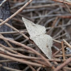 Taxeotis intextata (Looper Moth, Grey Taxeotis) at Canberra Central, ACT - 18 Nov 2015 by Qwerty