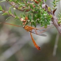 Netelia sp. (genus) (An Ichneumon wasp) at Gibraltar Pines - 4 Feb 2017 by HarveyPerkins