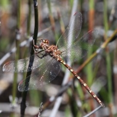 Archaeosynthemis orientalis (Eastern Brown Tigertail) at Namadgi National Park - 29 Jan 2017 by HarveyPerkins