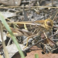 Gastrimargus musicus (Yellow-winged Locust or Grasshopper) at Mount Taylor - 5 Feb 2017 by MatthewFrawley
