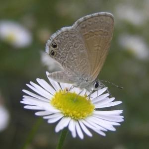 Nacaduba biocellata at Kambah, ACT - 5 Feb 2017