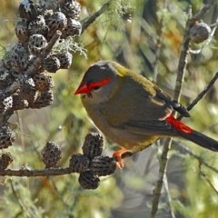Neochmia temporalis (Red-browed Finch) at Brogo, NSW - 12 Jun 2016 by MaxCampbell