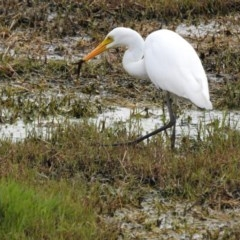 Ardea intermedia (Intermediate Egret) at Jerrabomberra Wetlands - 6 Feb 2017 by Qwerty