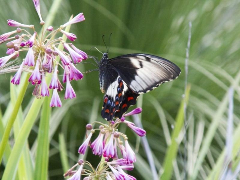 Papilio aegeus at Acton, ACT - 4 Feb 2017