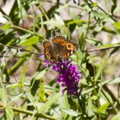 Junonia villida (Meadow Argus) at Canberra Central, ACT - 4 Feb 2017 by Alison Milton