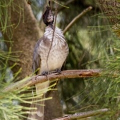 Philemon corniculatus (Noisy Friarbird) at Jerrabomberra Wetlands - 4 Feb 2017 by Alison Milton