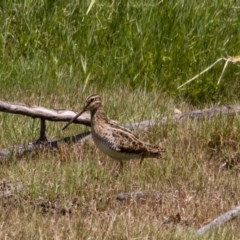 Gallinago hardwickii (Latham's Snipe) at Jerrabomberra Wetlands - 5 Feb 2017 by Alison Milton