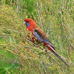 Platycercus elegans (Crimson Rosella) at Brogo, NSW - 26 Oct 2009 by MaxCampbell