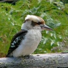 Dacelo novaeguineae (Laughing Kookaburra) at Brogo, NSW - 8 Aug 2007 by MaxCampbell
