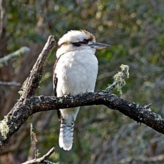 Dacelo novaeguineae (Laughing Kookaburra) at Brogo, NSW - 1 Jun 2012 by MaxCampbell