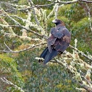 Aquila audax at Brogo, NSW - 16 Jun 2012