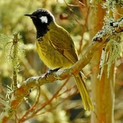 Nesoptilotis leucotis (White-eared Honeyeater) at Brogo, NSW - 30 May 2016 by MaxCampbell