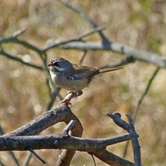 Sericornis frontalis (White-browed Scrubwren) at Brogo, NSW - 10 Oct 2014 by MaxCampbell