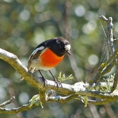 Petroica boodang (Scarlet Robin) at Brogo, NSW - 12 Aug 2014 by MaxCampbell