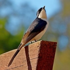 Myiagra inquieta (Restless Flycatcher) at Brogo, NSW - 18 May 2012 by MaxCampbell