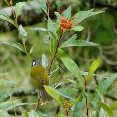 Nesoptilotis leucotis (White-eared Honeyeater) at Brogo, NSW - 14 Jun 2014 by MaxCampbell