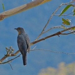 Cacomantis flabelliformis (Fan-tailed Cuckoo) at Brogo, NSW - 11 Oct 2014 by MaxCampbell