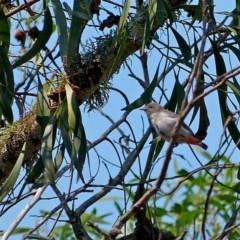 Dicaeum hirundinaceum (Mistletoebird) at Brogo, NSW - 21 Feb 2014 by MaxCampbell
