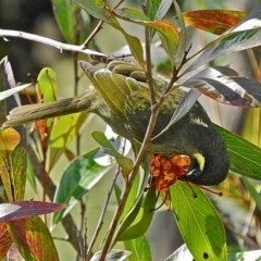 Meliphaga lewinii (Lewin's Honeyeater) at Brogo, NSW - 2 Aug 2015 by MaxCampbell