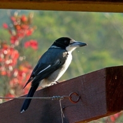 Cracticus torquatus (Grey Butcherbird) at Brogo, NSW - 5 Apr 2005 by MaxCampbell