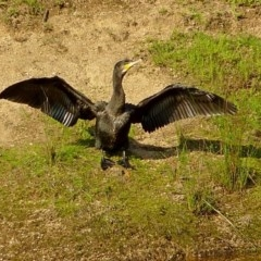 Phalacrocorax carbo (Great Cormorant) at Brogo, NSW - 19 Oct 2010 by MaxCampbell