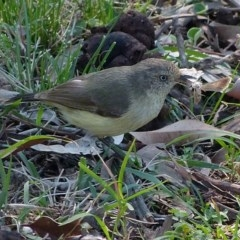 Acanthiza reguloides (Buff-rumped Thornbill) at Brogo, NSW - 27 Sep 2014 by MaxCampbell
