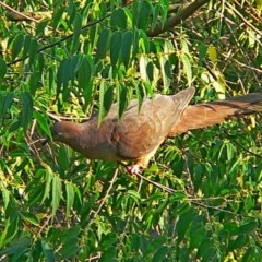 Macropygia (Macropygia) amboinensis (Brown Cuckoo-dove) at Brogo, NSW - 19 Mar 2009 by MaxCampbell