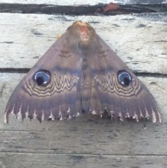 Dasypodia selenophora (Southern old lady moth) at Burra, NSW - 11 Feb 2017 by Safarigirl
