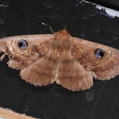 Dasypodia selenophora (Southern old lady moth) at Namadgi National Park - 11 Feb 2017 by JohnBundock