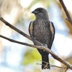 Artamus cyanopterus (Dusky Woodswallow) at Namadgi National Park - 10 Feb 2017 by JohnBundock
