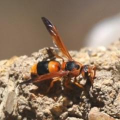Abispa ephippium (Potter wasp, Mason wasp) at Jerrabomberra Wetlands - 11 Dec 2015 by HarveyPerkins