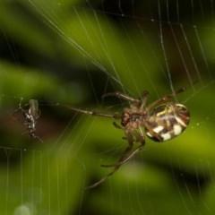 Phonognatha graeffei (Leaf-curling spider) at Higgins, ACT - 11 Feb 2017 by Alison Milton