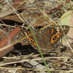 Junonia villida (Meadow Argus) at Red Hill Nature Reserve - 12 Feb 2017 by Ratcliffe
