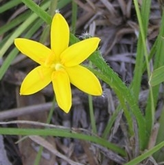 Hypoxis hygrometrica (Golden Weather-grass) at Mount Taylor - 3 Mar 2010 by MatthewFrawley