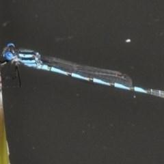 Austrolestes annulosus (Blue Ringtail) at Tidbinbilla Nature Reserve - 16 Feb 2017 by JohnBundock