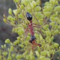 Myrmecia nigriceps (Black-headed bull ant) at Point Hut to Tharwa - 9 Feb 2017 by michaelb
